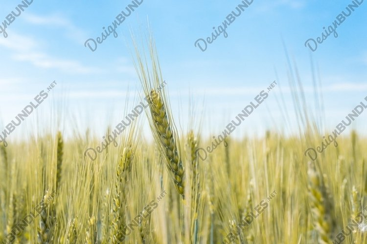 Wheat field in the village example image 1