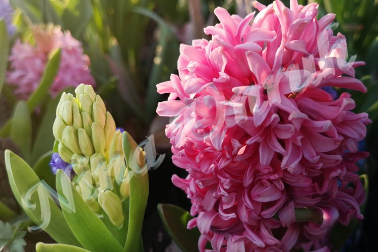 Two beautiful Hyacinth flowers example image 1
