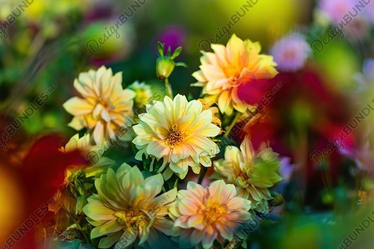 Stock Photo - flowering yellow dahlias in the garden example image 1