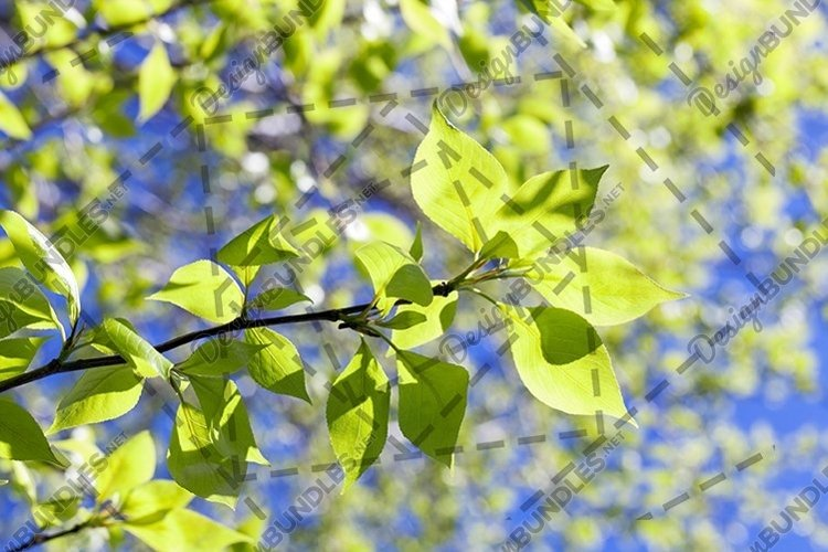 linden leaves, spring example image 1