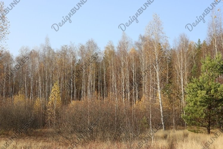 birch trees on the edge of the forest in autumn