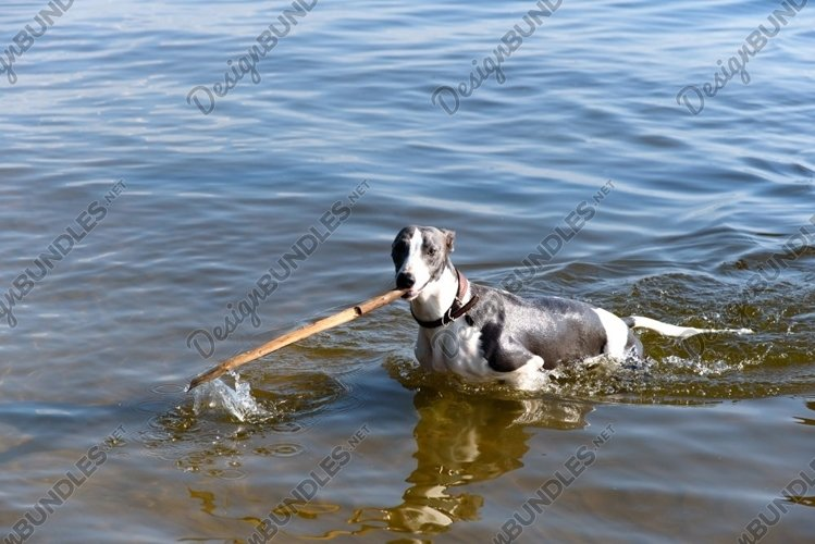 The dog carries a stick, comes out of the water example image 1