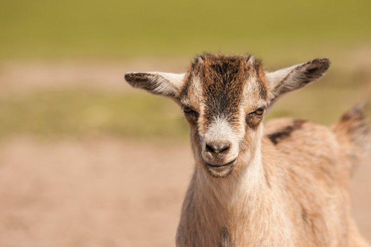 Goat photo 2 example image 1