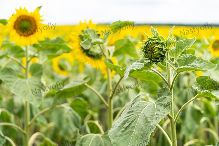 Sunflower field, agriculture, harvest concept. example image 1