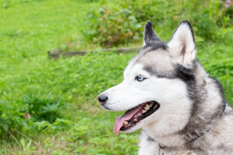 Cute siberian husky lying on green grass example image 1