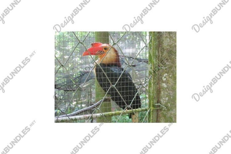 Photo of the Rufous Hornbill Buceros Hydrocorax example image 1
