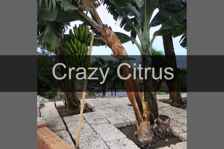 Green canary bananas growing on plantain tree example image 1