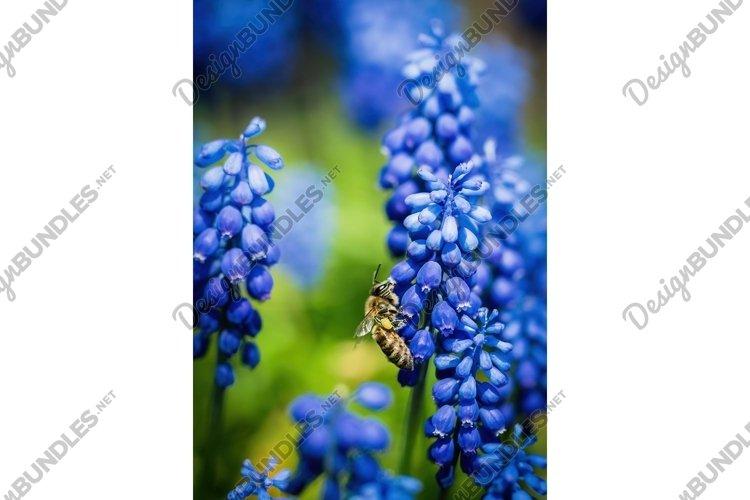 Blooming spring garden. Fresh blue wild hyacinths example image 1