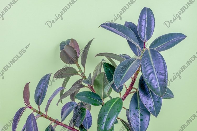 Ficus resilient rubber tree cultivar Melanie plants