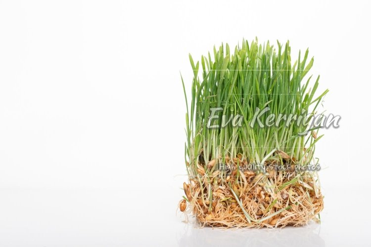 Green grass microgreen. Studio shot with space for text. example image 1
