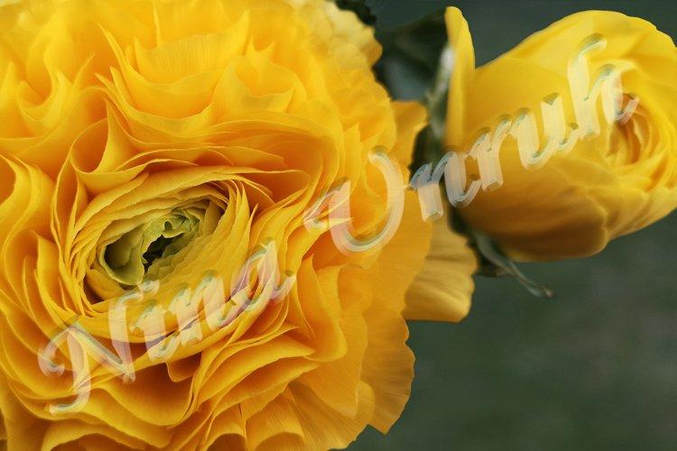 Macro shot of crown of yellow Ranunculus flower and its bud