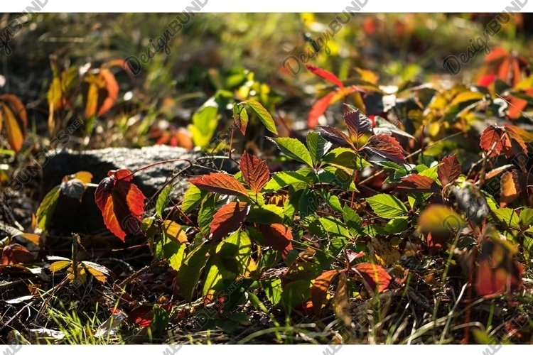 Autumn leaves of wild grapes example image 1