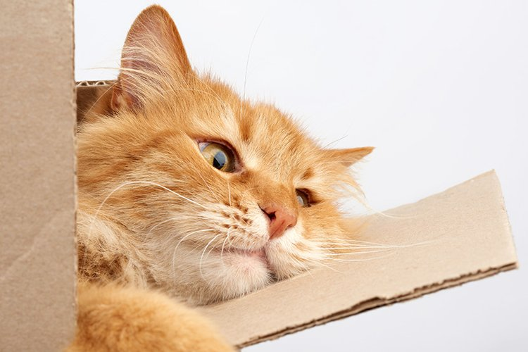 sad adult ginger cat resting in a brown cardboard box example image 1