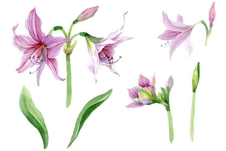 Purple amaryllis PNG watercolor flower set example image 1