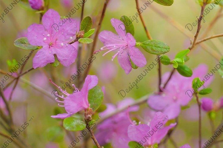 Stock Photo - Spring flowering pink almond macro. example image 1