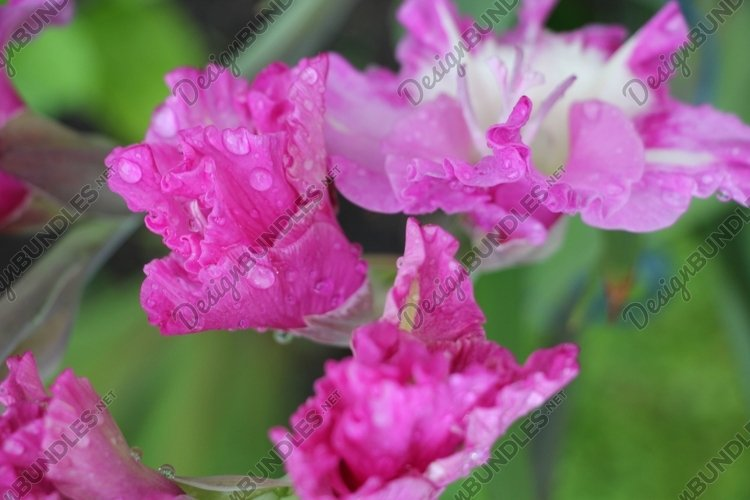 gladiolus flowers in the garden example image 1