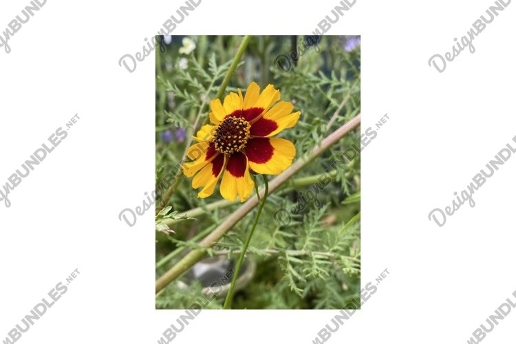 Photo of the Flower of Coreopsis Verticillata Zagreb example image 1