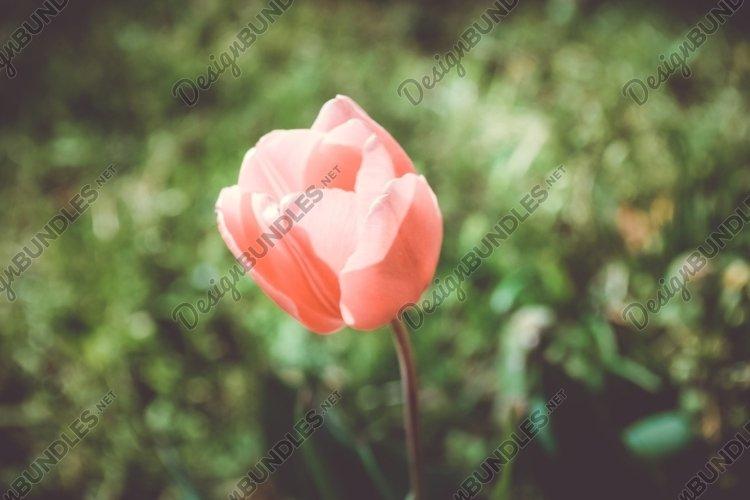 Tulip In Bloom example image 1