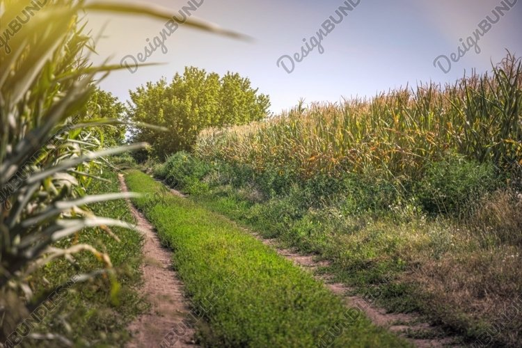 Dirt road and summer cornfield example image 1
