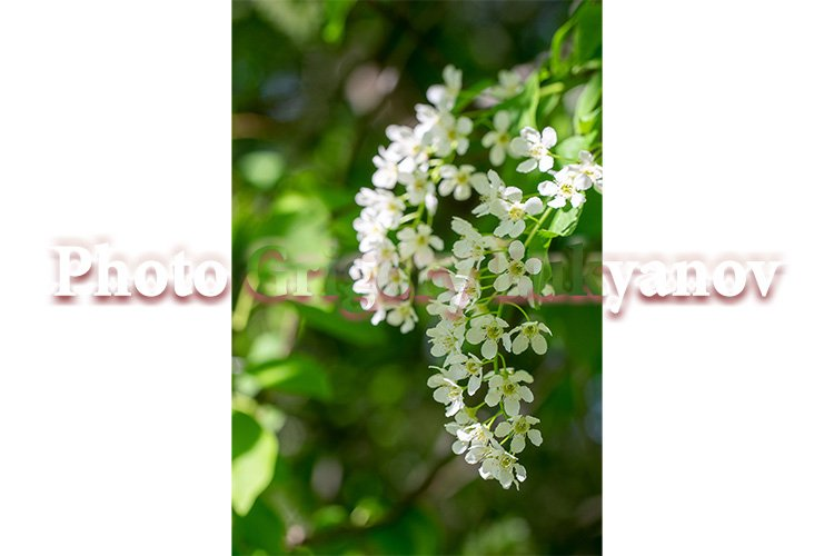 Stock Photo - Branch bird cherry in white flowers example image 1