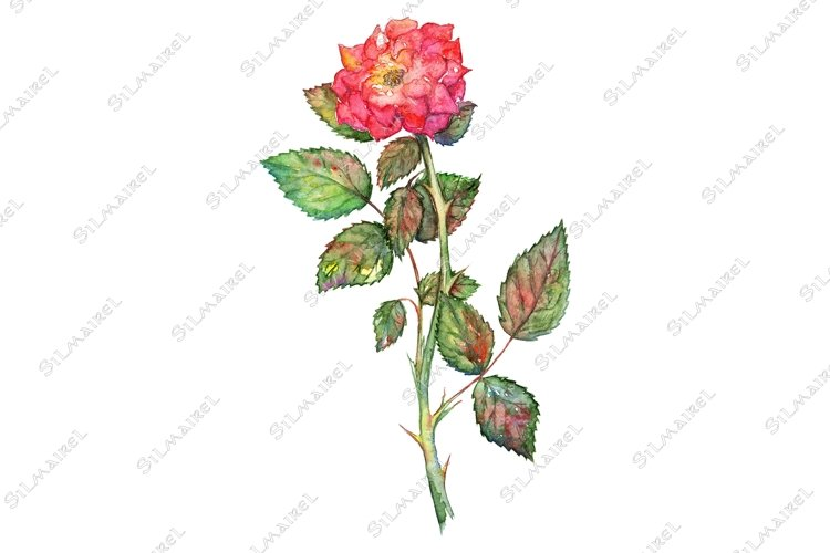 Watercolor pink shrub rose isolated clip art example image 1
