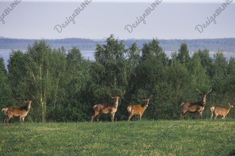 A Flock of deer with summer fur grazing on green grass field example image 1