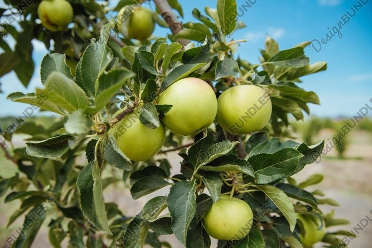 Closeup of green apples on a branch in an orchard example image 1
