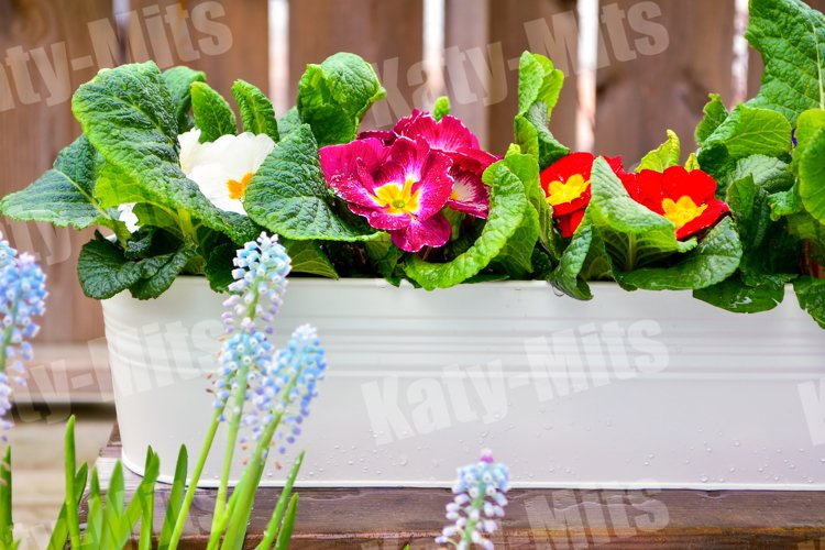 Daffodils and primrose in garden pots on an outdoor terrace.
