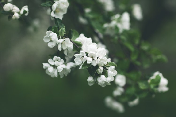 Spring flowers of a white apple tree