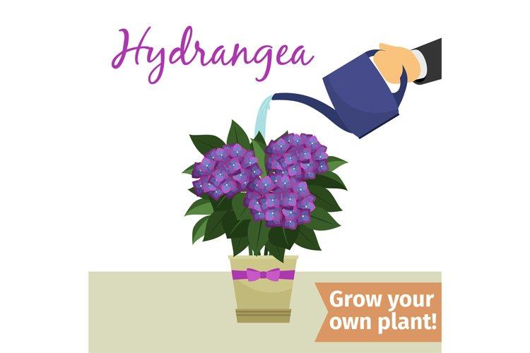 hand watering hydrangea plant example image 1