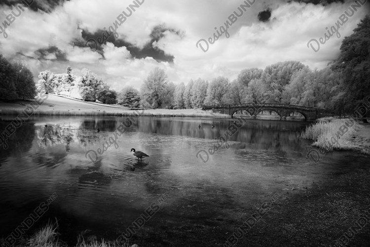 Canada goose on the River Glyme, Oxfordshire, UK example image 1