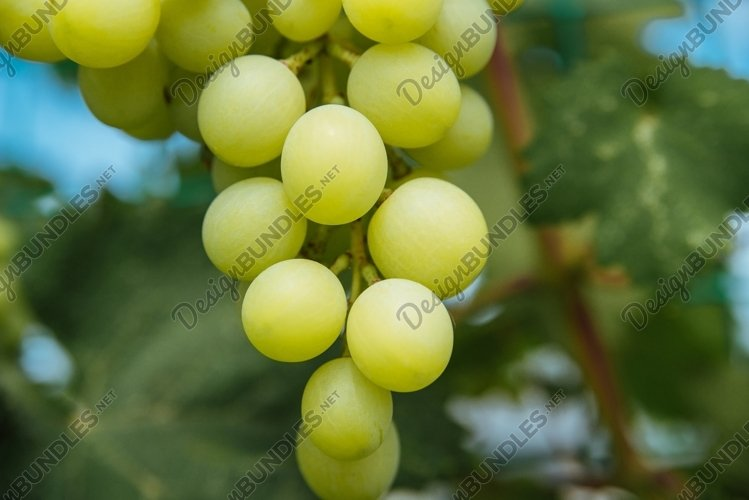 Bunch of ripe juicy grapes on a branch in bright sunlight example image 1