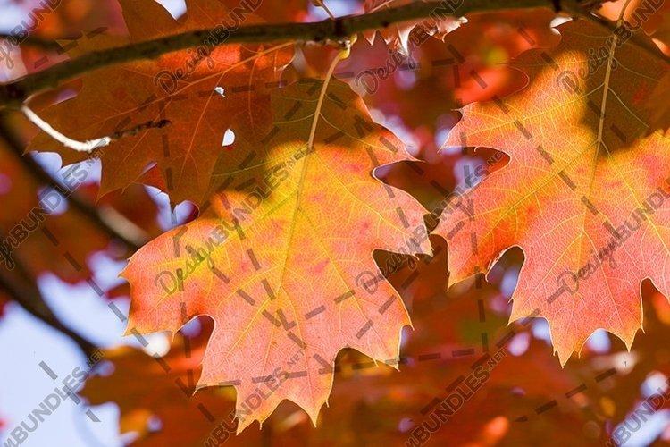 autumn oak foliage on trees example image 1