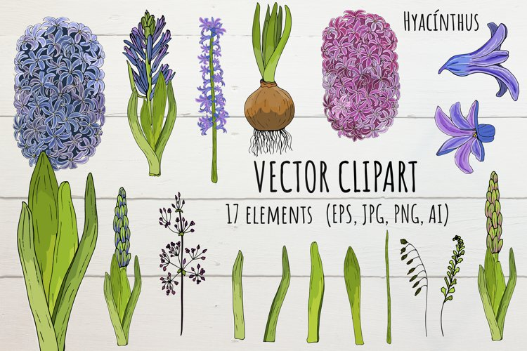 Vector floral hyacinth colorful clipart create Hyacínthus! example image 1