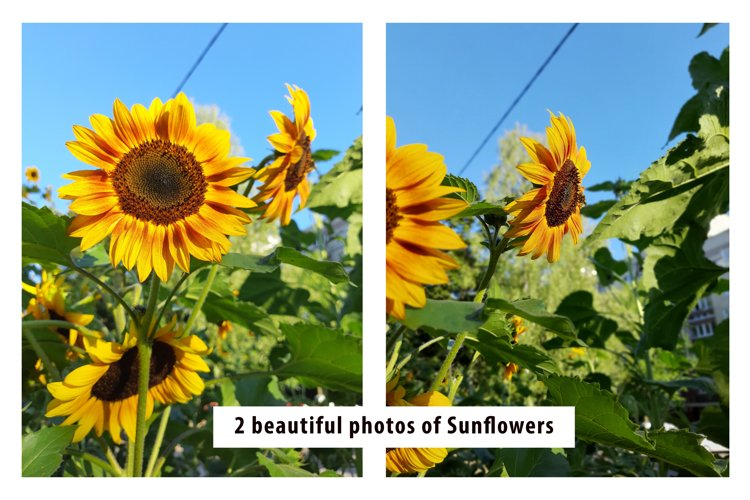 Beautiful photos of Sunflowers example image 1
