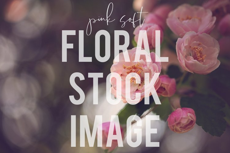 Soft Pink Roses Floral Stock Image Photograph example