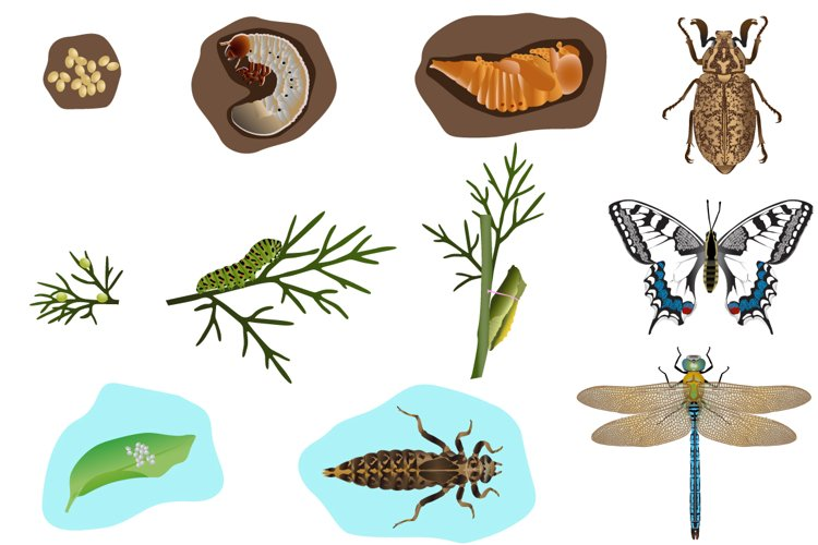 Metamorphosis of insects example image 1