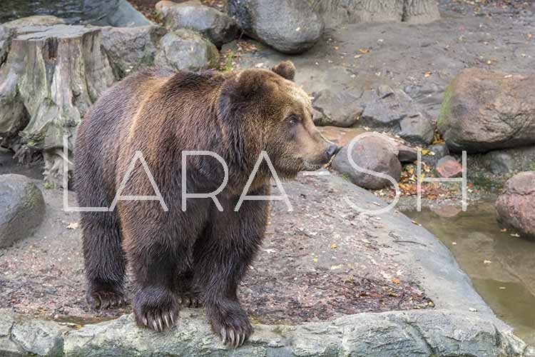 Large brown bear stands on stones near lake