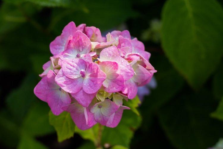 pink hydrangea or hortensia in garden example image 1