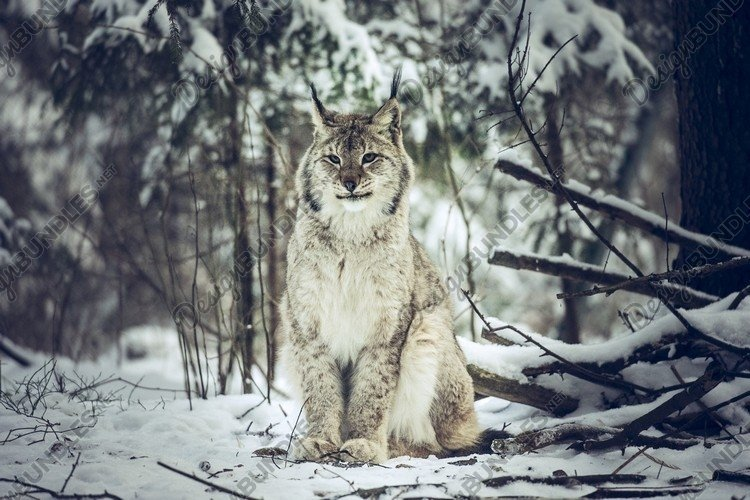 Close up Eurasian Lynx in winter in the movement example image 1