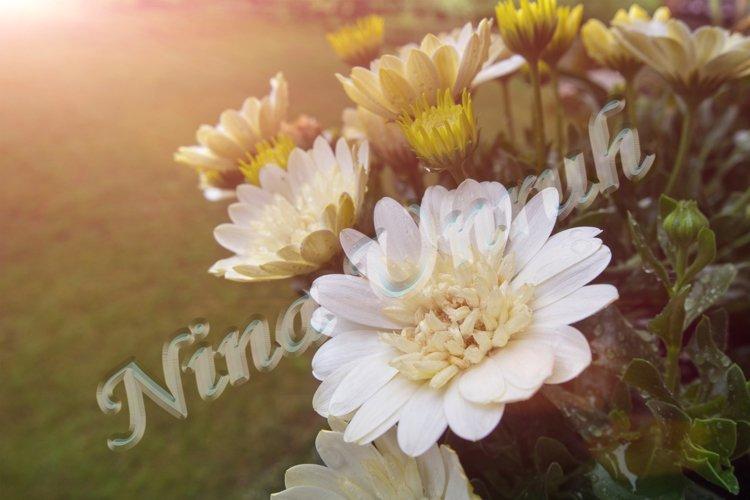 Flower bush of Aurora, white chrysanthemum example image 1