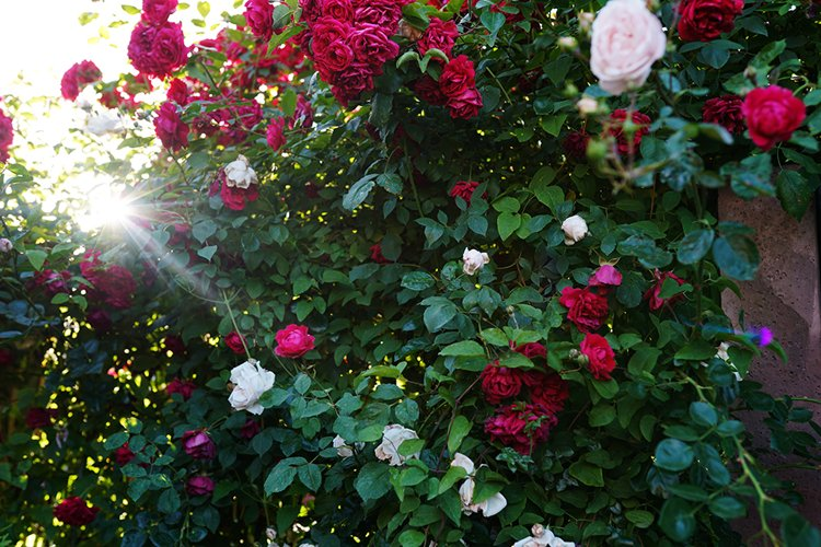 bush of beautiful pink, red and white roses with ray of sun example image 1