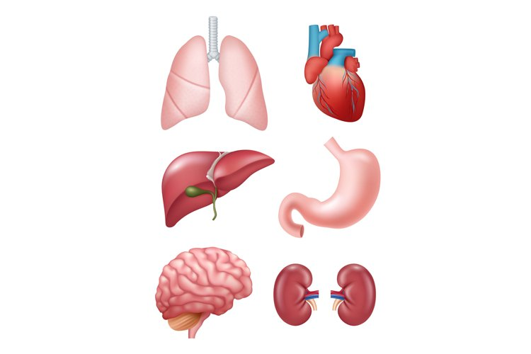 Human organs. Anatomical medical illustrations stomach heart