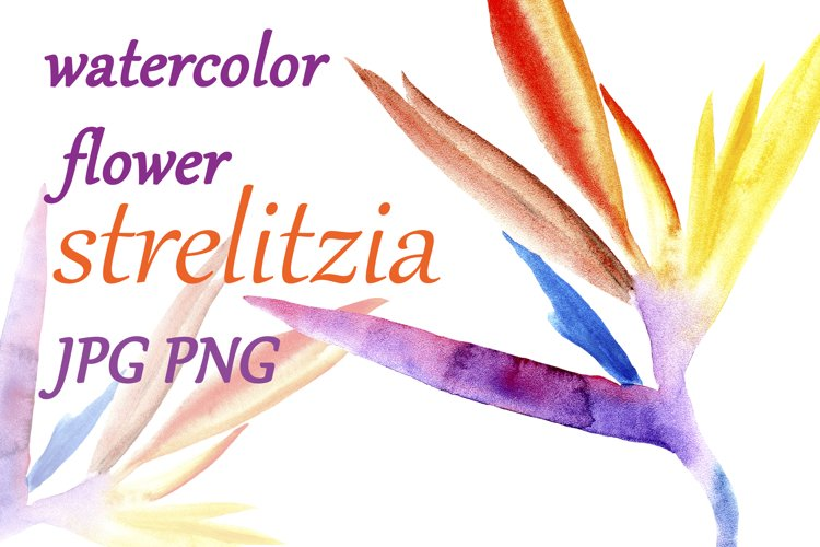 watercolor flower of a tropical strelitzia isolated