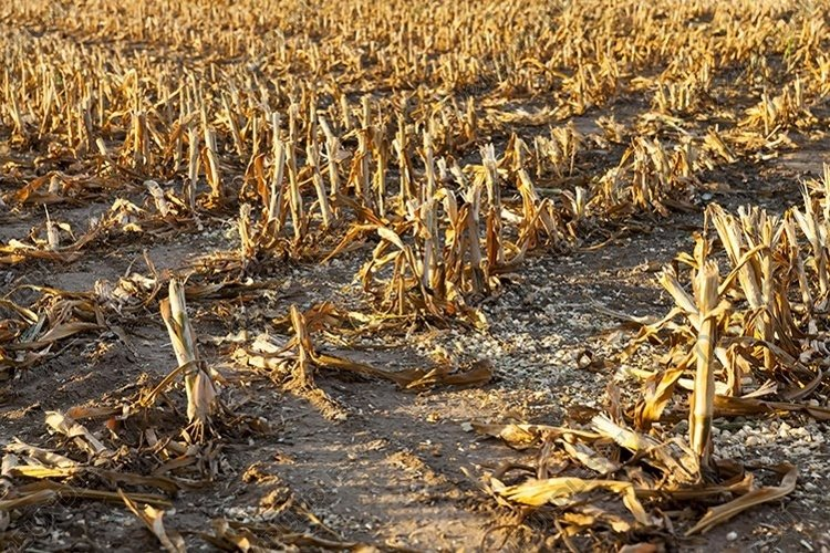 thick mown corn stalks example image 1