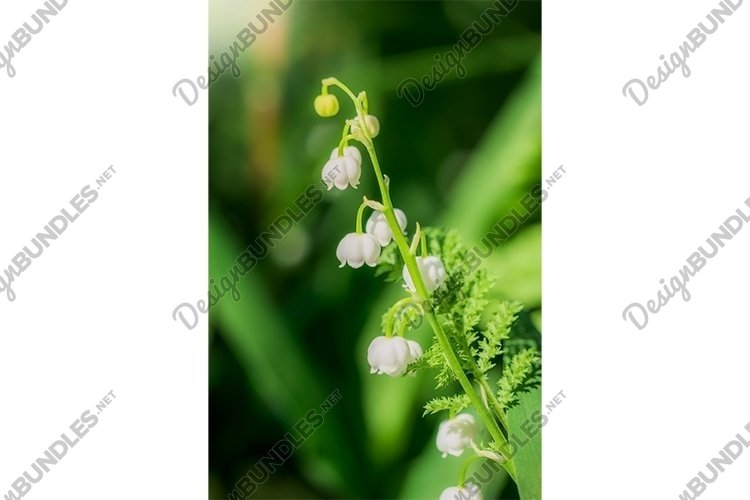 Stock Photo - Spring flower lily of the valley close-up example image 1