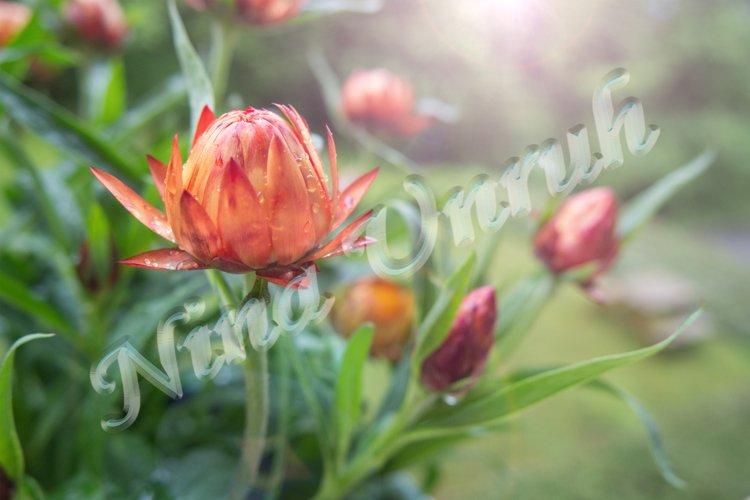 Golden Xerochrysum,Helichrysum bracteatum,Straw flower
