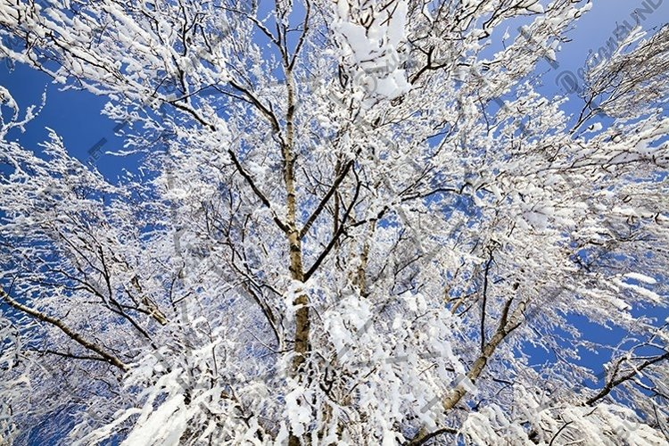birch after freezing example image 1