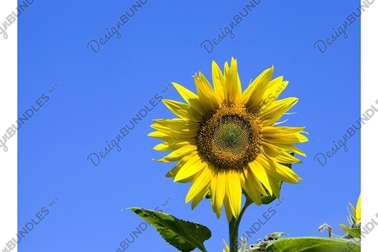 yellow annual sunflower example image 1