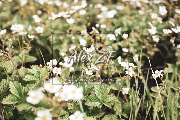 Blooming strawberry flowers. Soft focus